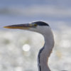 Grey heron, Ardea cinerea, Czapla siwa, grey heron long neck wings bird closeup wildlife nature photography