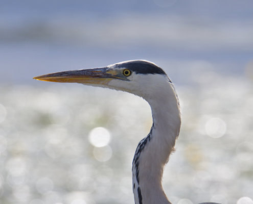 Grey heron, Ardea cinerea, Czapla siwa, grey heron long neck wings bird closeup wildlife nature photography