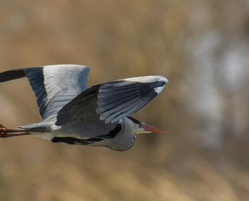Grey heron, Ardea cinerea, Czapla siwa, grey heron in flight bird in flight wings bird closeup wildlife nature photography beige background