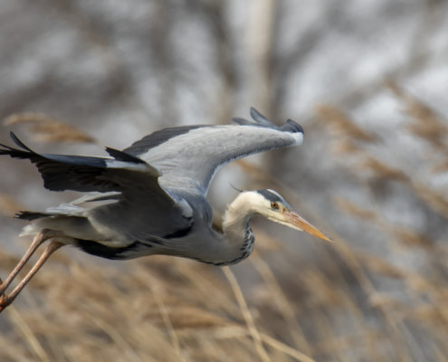 Grey heron, Ardea cinerea, Czapla siwa, grey heron in flight bird in flight wings long neck bird closeup wildlife nature photography