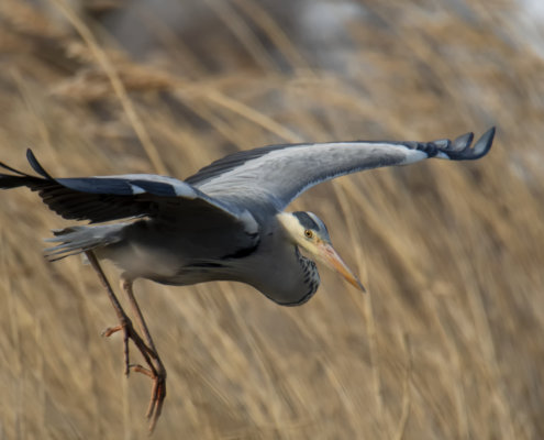 Grey heron, Ardea cinerea, Czapla siwa, grey heron in flight bird in flight wings bird closeup wildlife nature photography