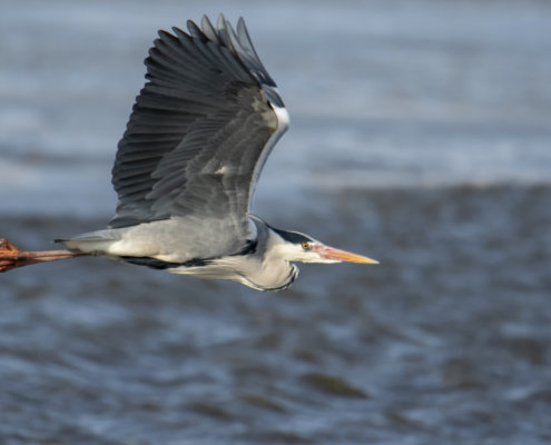 Grey heron, Ardea cinerea, Czapla siwa, grey heron in flight bird in flight water bird wildlife nature photography