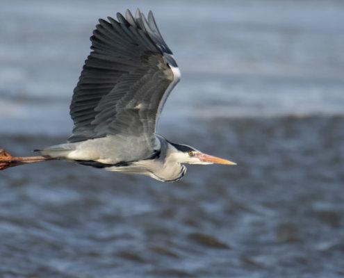 Grey heron, Ardea cinerea, Czapla siwa, grey heron in flight bird in flight water bird wildlife nature photography