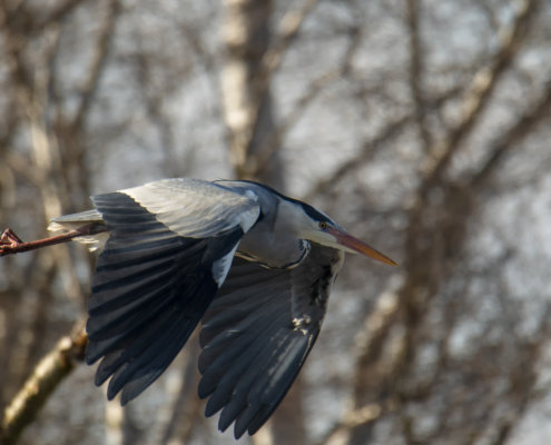 Grey heron, Ardea cinerea, Czapla siwa, bird in flight, heron in flight, tree background