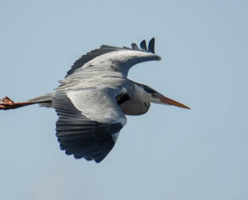 Grey heron, Ardea cinerea, Czapla siwa, grey heron in flight bird in flight