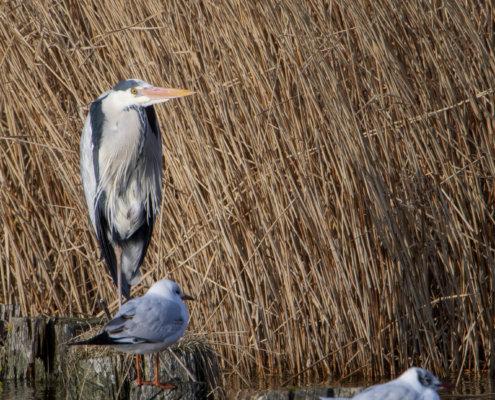 Grey heron, Ardea cinerea, Czapla siwa, standing grey heron bird