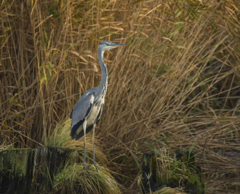 Grey heron, Ardea cinerea, Czapla siwa, water bird