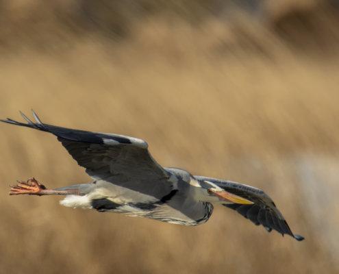 Grey heron, Ardea cinerea, Czapla siwa, grey heron in flight bird in flight wings bird closeup wildlife nature photography orange backgraund