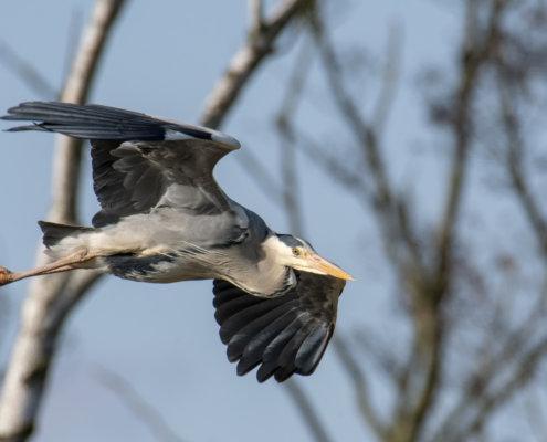 Grey heron, Ardea cinerea, Czapla siwa, grey heron in flight bird in flight wings bird closeup wildlife nature photography