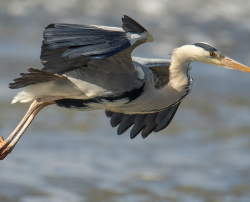 Grey heron, Ardea cinerea, Czapla siwa, grey heron in flight bird in flight wings water bird closeup wildlife nature photography