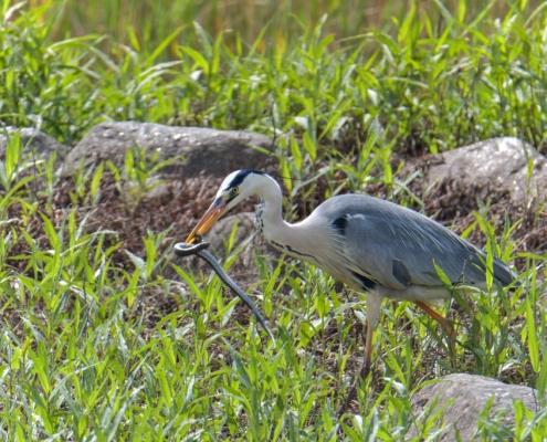 Grey heron bird with hunted snake