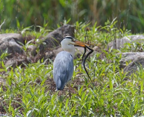Grey heron bird with snake in his beak
