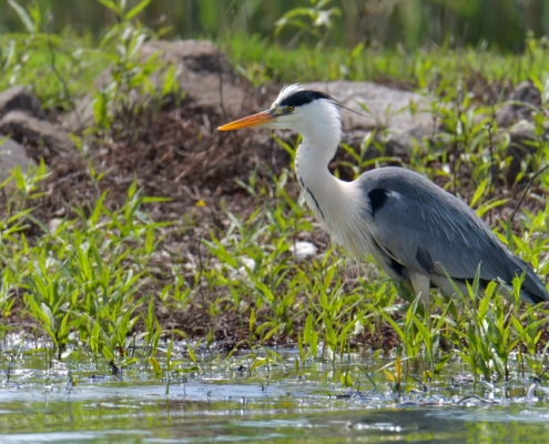 Grey heron, Ardea cinerea, Czapla siwa, grey water bird long white neck wildlife nature photography Artur Rydzewski