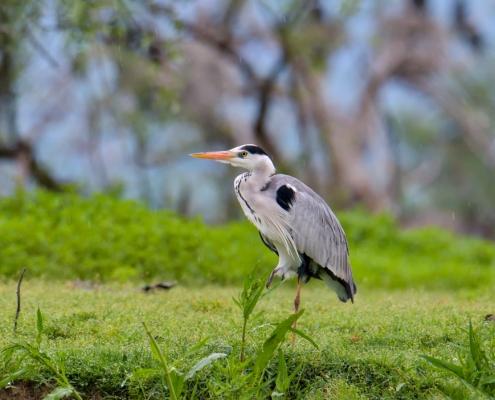 grey heron bird standing on one leg