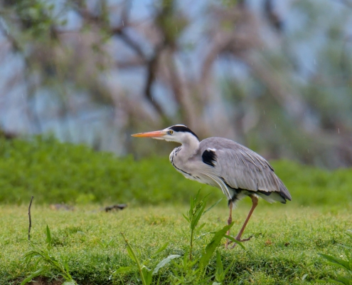 Grey heron water bird walking on the grass