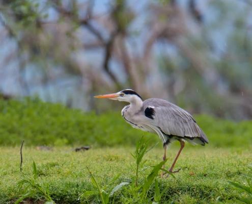 Grey heron water bird walking on the grass