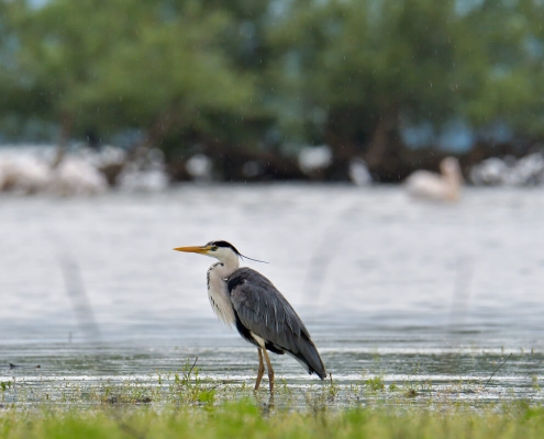 Grey heron, Ardea cinerea, Czapla siwa Żuraw, big grey water bird wildlife nature photography puszcza wkrzańska rezerwat świdwie Artur Rydzewski