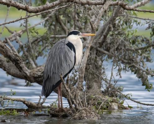 Grey heron bird standing in water