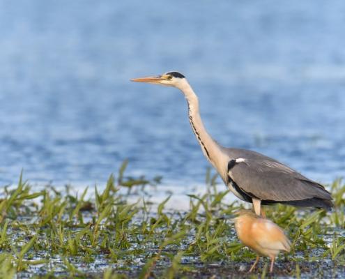 Grey heron bird standing in water nature photography wildlife