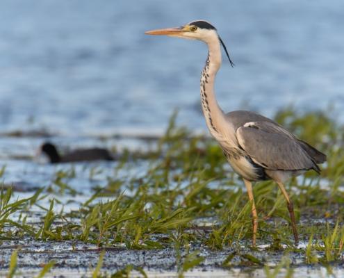 Grey heron bird walking in water, wildlife nature photography