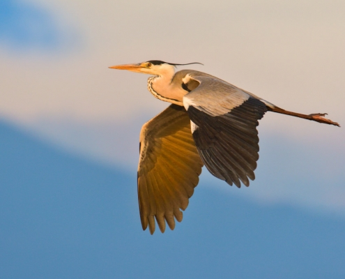 Flying grey heron bird at sunset sky, sunrise sky, wildlife nature photography
