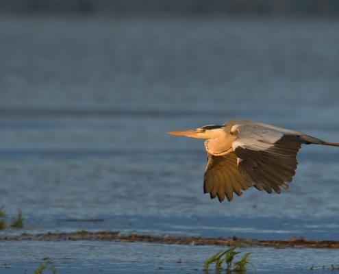 Water bird, flying grey heron, wildlife nature photography