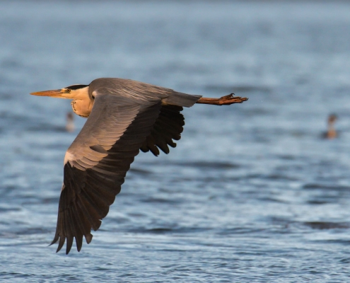 flying Grey heron water bird, wildlife nature photography