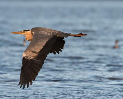 flying Grey heron water bird, wildlife nature photography