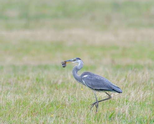 Grey heron, Ardea cinerea, Czapla siwa, eating bird, eat, big grey bird long neck, walking bird on grass, mouse in beak