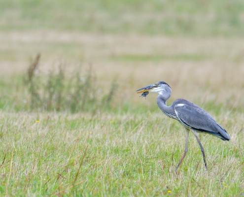 Grey heron, Ardea cinerea, Czapla siwa, eating bird, eat, big grey bird long neck, walking bird on grass, mouse in beak, long legs, wildlife nature photography Artur Rydzewski