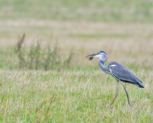 Grey heron, Ardea cinerea, Czapla siwa, eating bird, eat, big grey bird long neck, walking bird on grass, mouse in beak, long legs, wildlife nature photography Artur Rydzewski