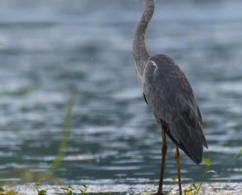 Grey heron, Ardea cinerea, Czapla siwa, big grey water bird wildlife nature photography puszcza wkrzańska rezerwat świdwie Artur Rydzewski