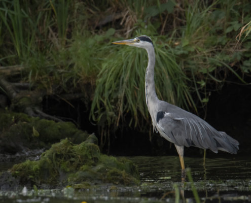 Grey heron, Ardea cinerea, Czapla siwa, grey heron in water