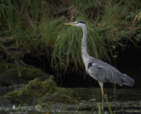 Grey heron, Ardea cinerea, Czapla siwa, grey heron in water