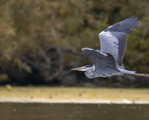 Grey heron, Ardea cinerea, Czapla siwa, grey heron in flight, wild life nature, wingspan