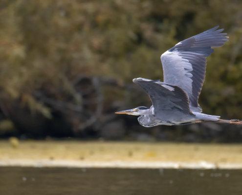 Grey heron, Ardea cinerea, Czapla siwa, grey heron in flight, wild life nature, wingspan