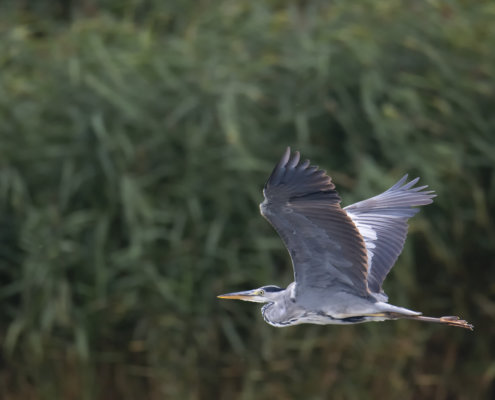 Grey heron, Ardea cinerea, Czapla siwa, grey heron in flight, wild life nature, green background