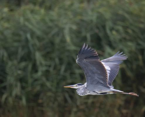 Grey heron, Ardea cinerea, Czapla siwa, grey heron in flight, wild life nature, green background