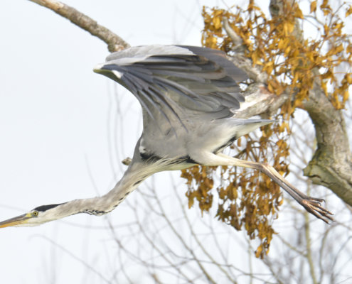 Grey heron, Ardea cinerea, Czapla siwa, grey heron in flight, tree branch wild life nature