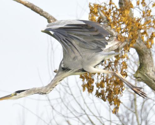 Grey heron, Ardea cinerea, Czapla siwa, grey heron in flight, tree branch wild life nature