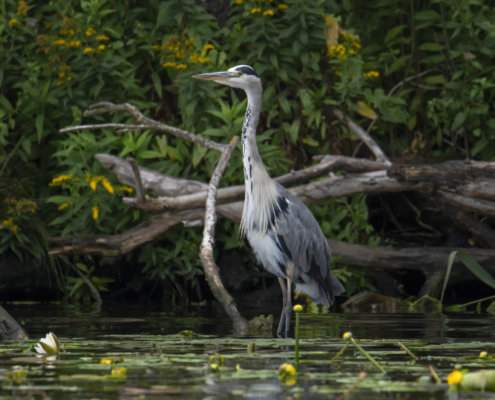 Grey heron, Ardea cinerea, Czapla siwa, grey heron in flowers, water big bird