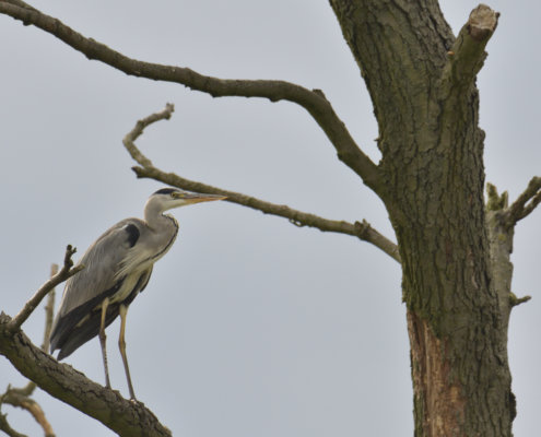 Grey heron, Ardea cinerea, Czapla siwa, grey heron on tree, wildlife nature photography