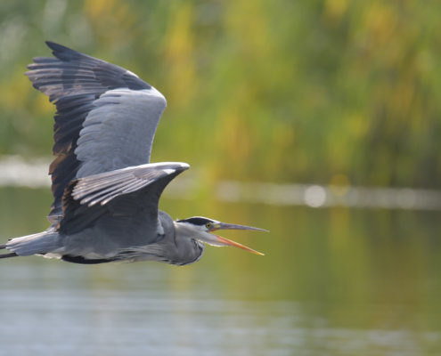 Grey heron, Ardea cinerea, Czapla siwa, grey heron in flight, singing heron