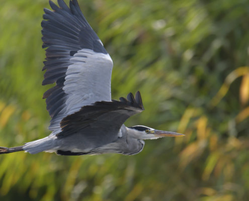 Grey heron, Ardea cinerea, Czapla siwa, grey heon in flight