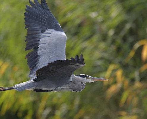 Grey heron, Ardea cinerea, Czapla siwa, grey heon in flight