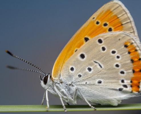 Large copper, Lycaena dispar, Czerwończyk nieparek, czerwończyk większy, orange butterfly
