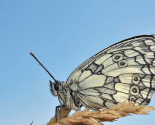 butterfly, motyl, Marbled white, Melanargia galathea, Polowiec szachownica, white butterfly, nature, macro, macro photography, closeup, close up, nature, insect, blue background