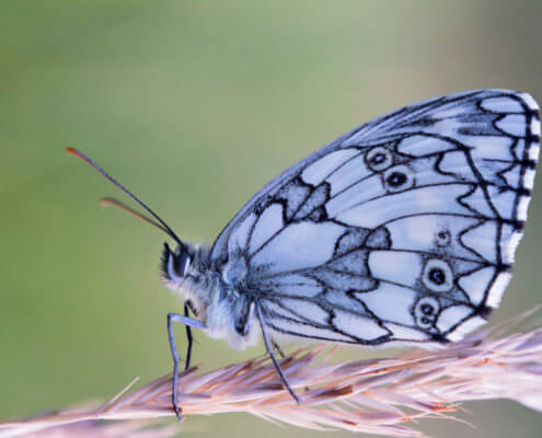 butterfly, motyl, Marbled white, Melanargia galathea, Polowiec szachownica, white butterfly, nature, macro, macro photography, closeup, close up, nature, insect