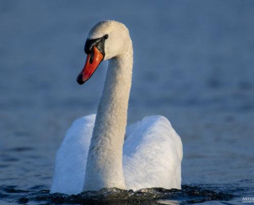Mute swan, Cygnus olor, Łabędź niemy, white bird close up, blue water