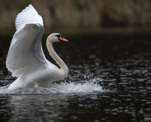 Mute swan, Cygnus olor, Łabędź niemy, big white bird in water